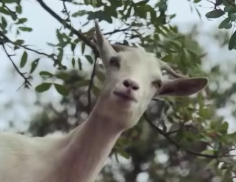Les chèvres savantes   Pas si bêtes !   ARTE