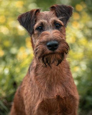 Jerry, chien des îles de Jack London